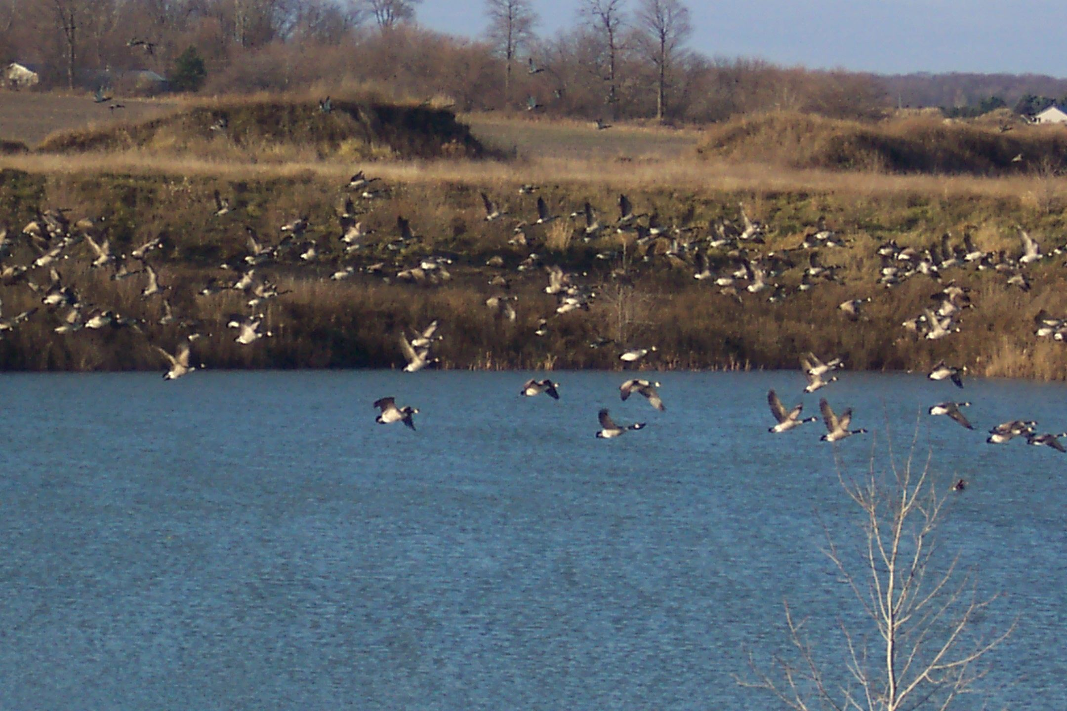 Photo of Geese #2  Photo taken 11 21 11